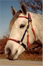 2 color halter bridle